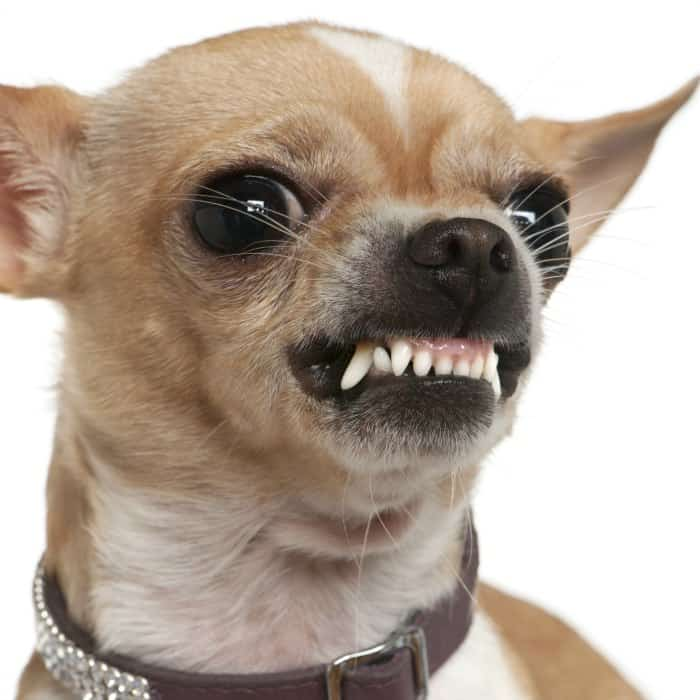 growling aggressive chihuahua