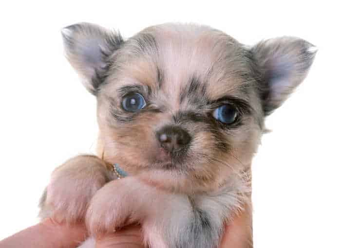 closeup merle pup with blue eyes