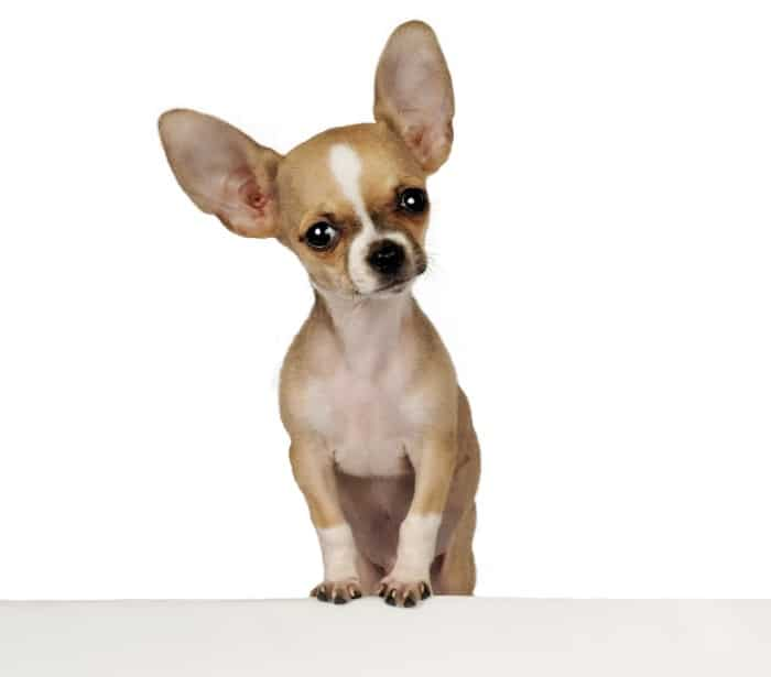 chihuahua with big ears