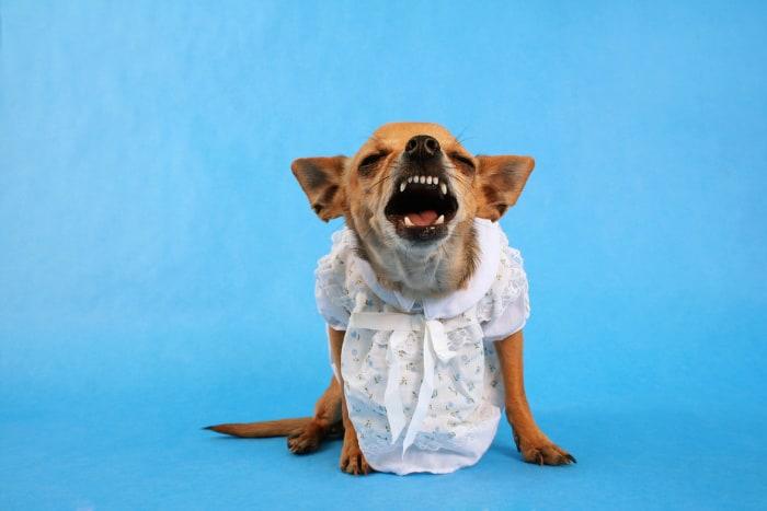 chihuahua wearing dress barking