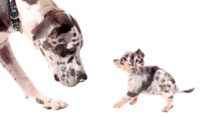 Merle great dane and chihuahua looking at each other