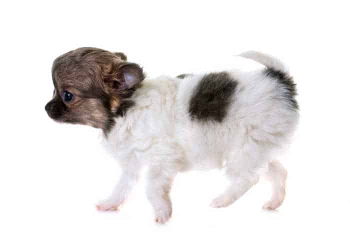 walking black and white chihuahua puppy
