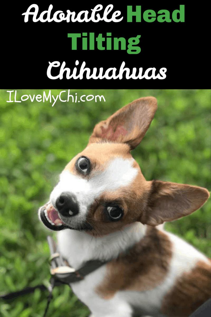 head tilting chihuahua