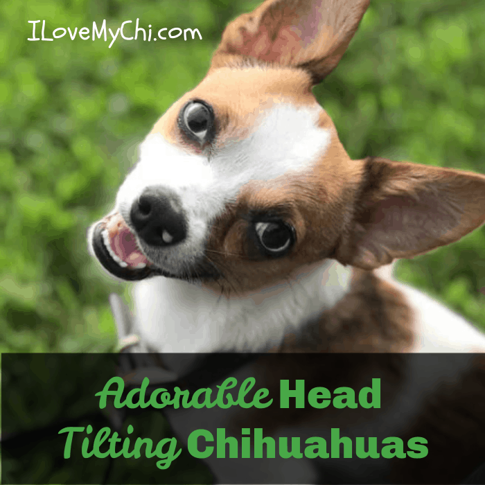 chihuahua tilting head
