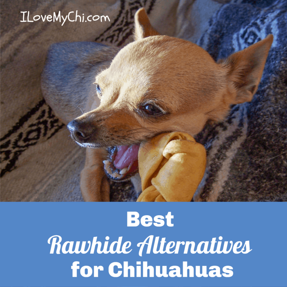 chihuahua chewing on rawhide bone