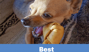 chihuahua chewing on rawhide bone