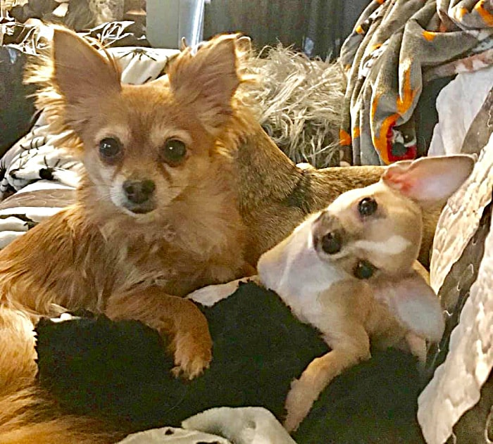 2 fawn colored chihuahuas