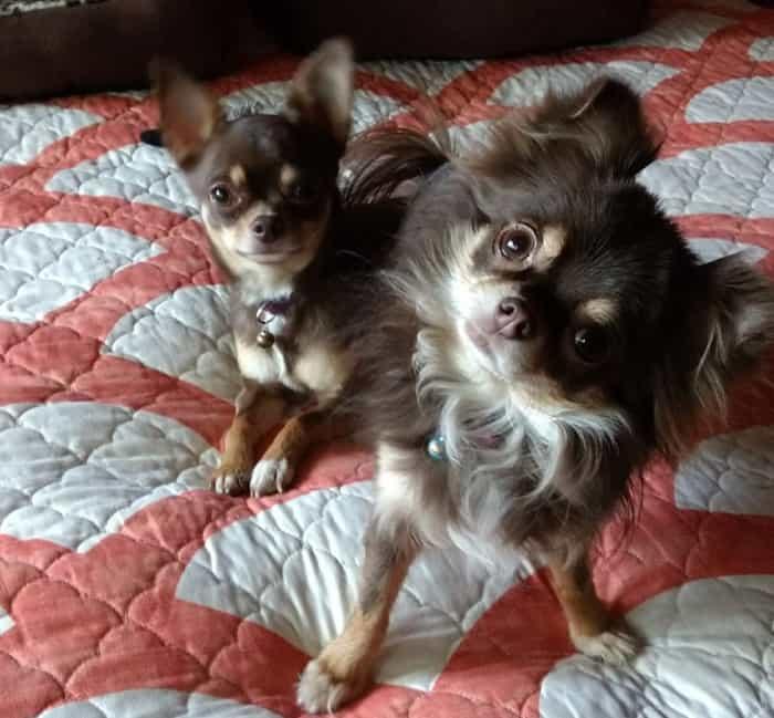 2 chihuahuas