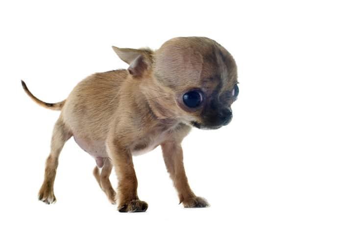 Hydrocephalus Chihuahua puppy