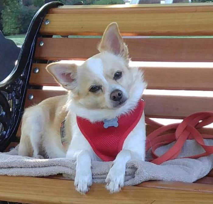 chihuahua in red harness
