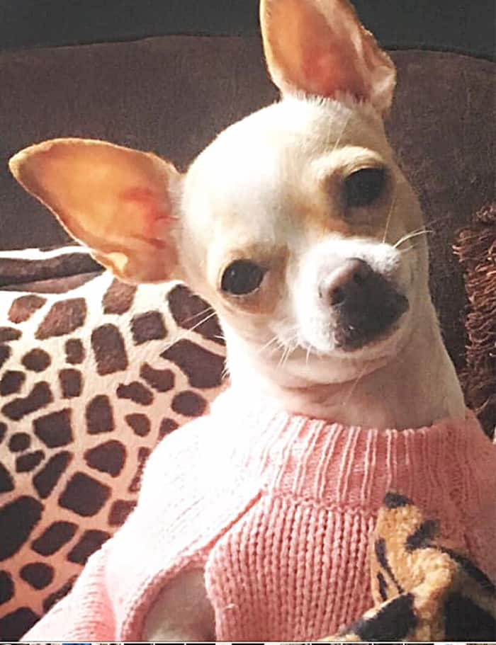 chihuahua in pink sweater