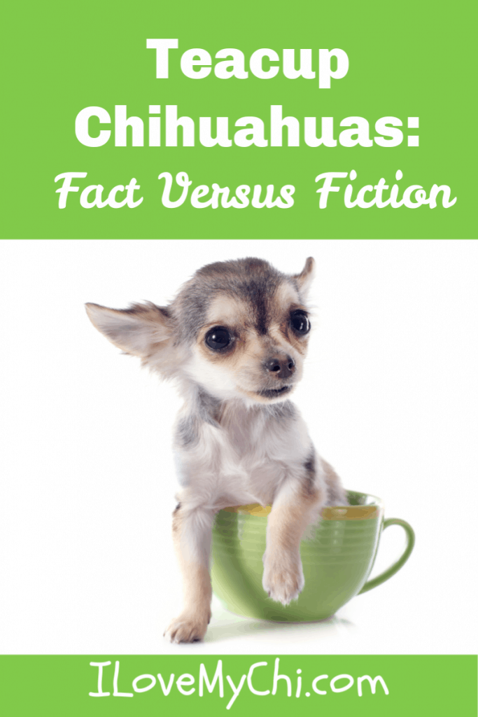facts about teacup chihuahuas
