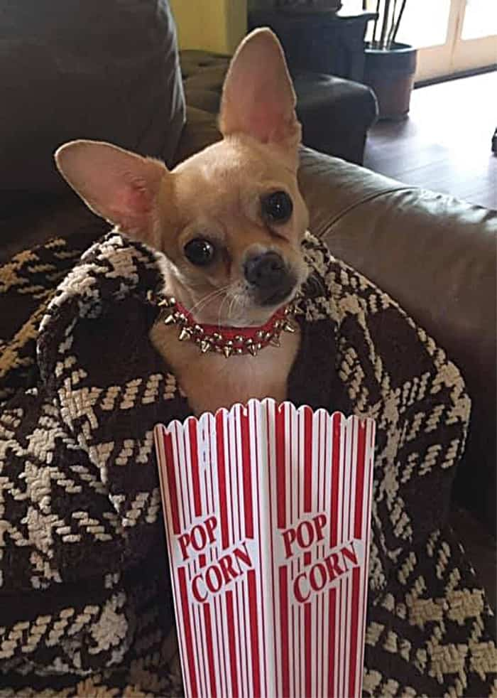 chihuahua puppy in popcorn bag