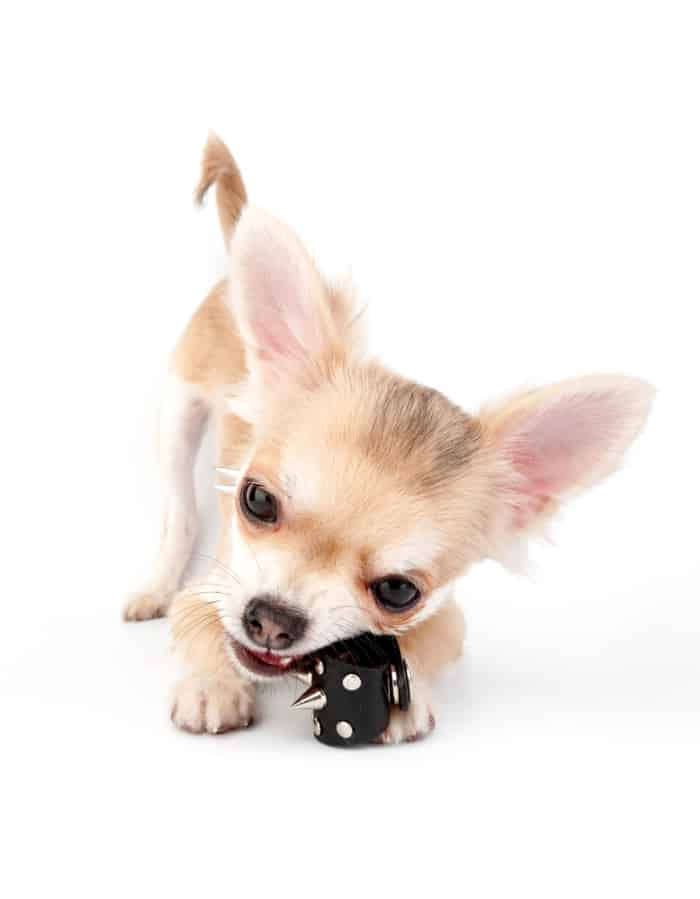 chihuahua puppy chewing a chew toy