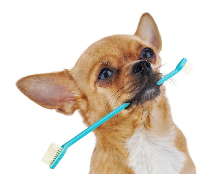 chihuahua with toothbrush in mouth