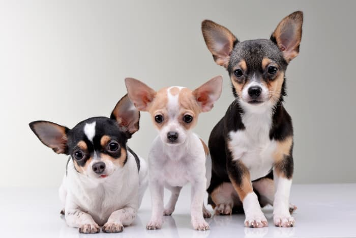 3 cute short hair chihuahuas