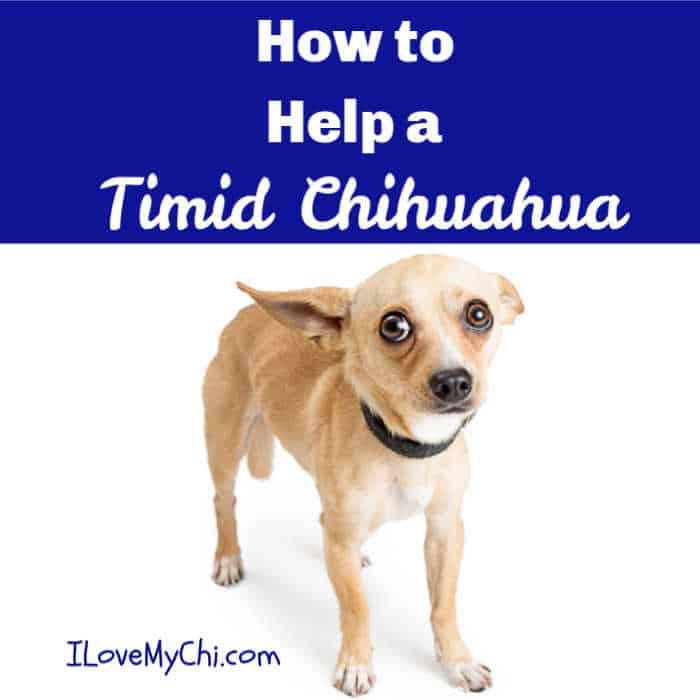 a timid chihuahua