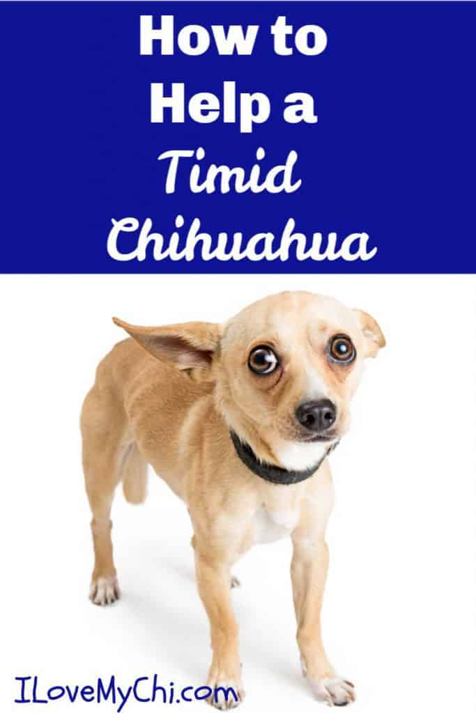 timid scared chihuahua