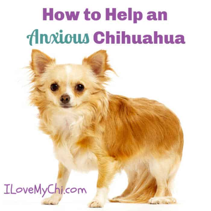 anxious long hair chihuahua