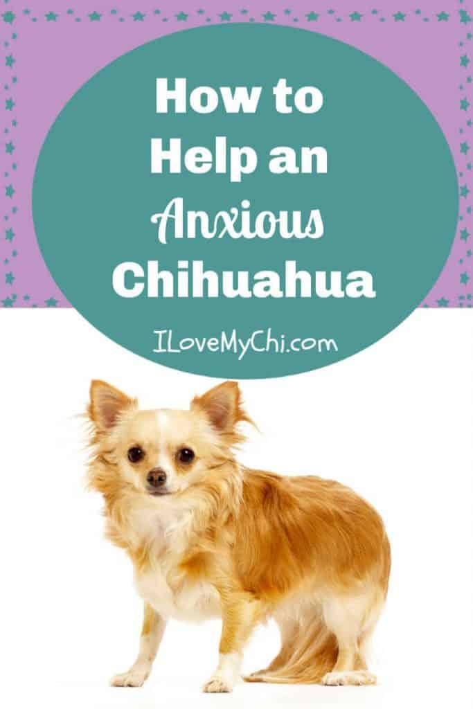 long hair anxious chihuahua