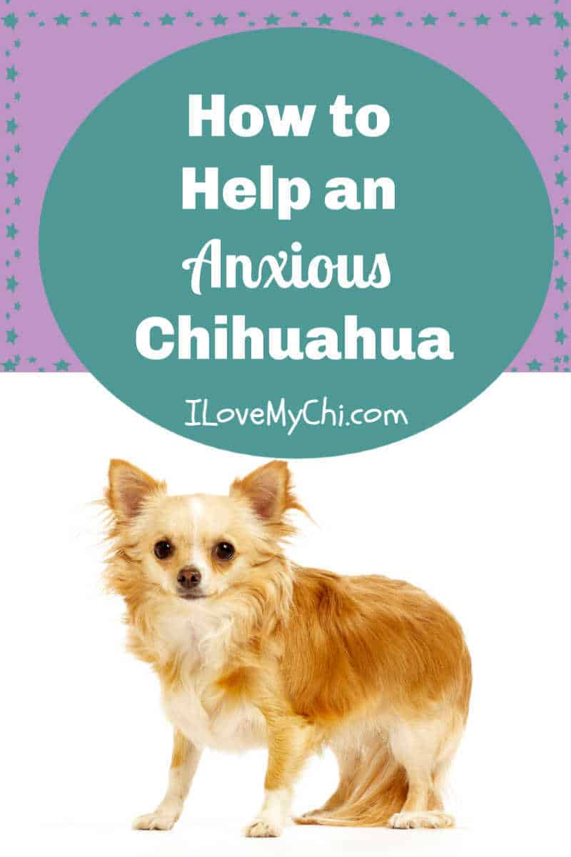long hair anxious chihuahua