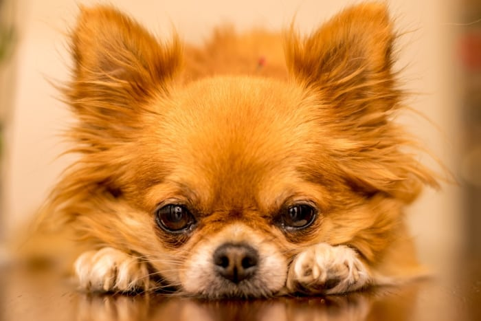 closeup of face of a red long hair chihuahua