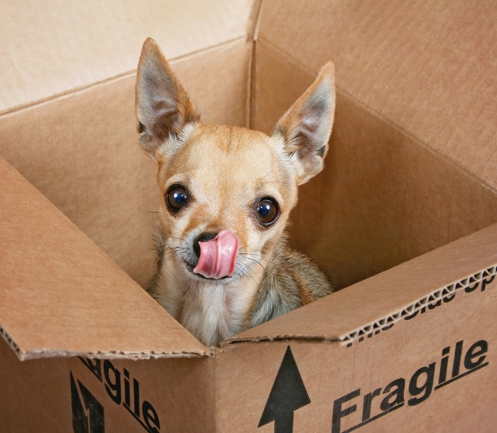 fawn chihuahua in cardboard box with tongue sticking out