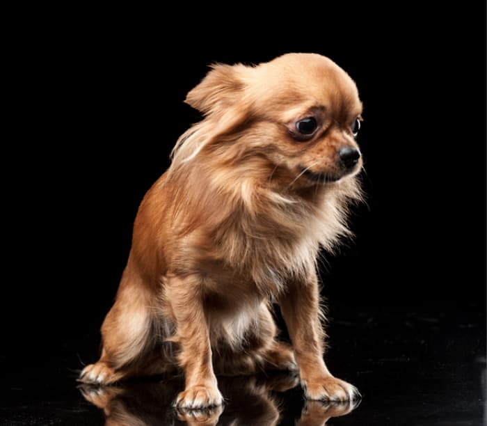 Fawn long hair timid chihuahua on black background