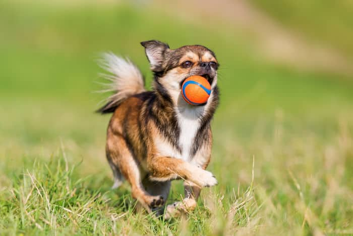 running chihuahua with ball in mouth