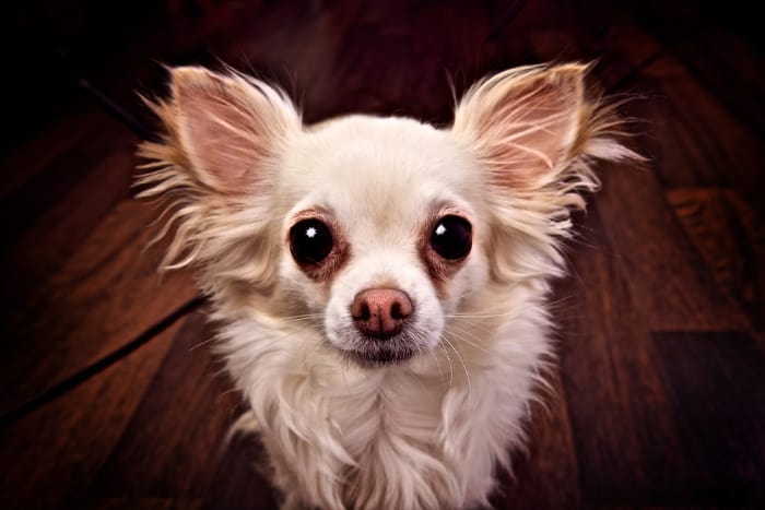 scared white long hair chihuahua