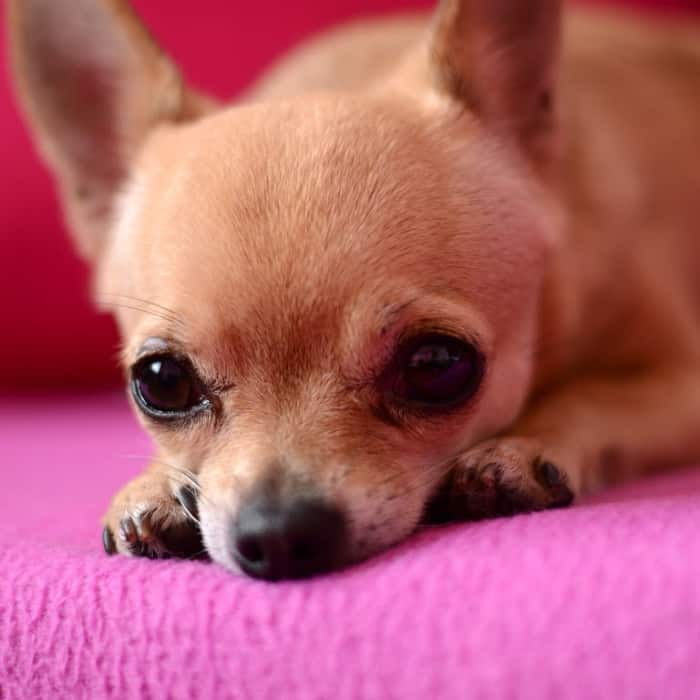 anxious fawn chihuahua laying on pink blanket