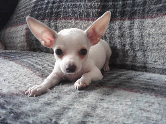 white chihuahua puppy  on couch