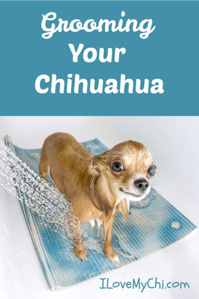 chihuahua getting a bath