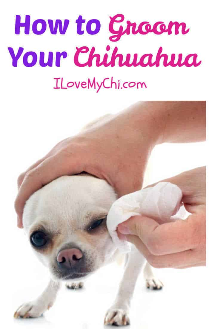 white chihuahua getting face cleaned