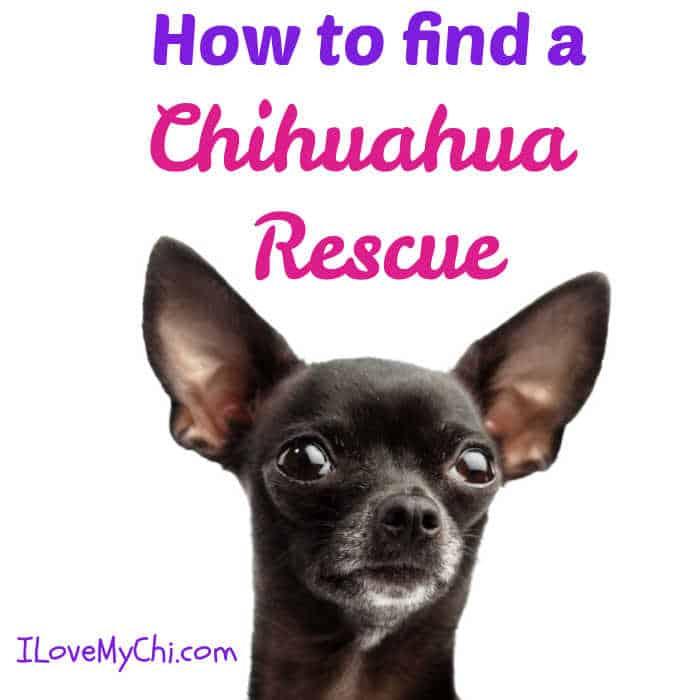 black chihuahua dog face