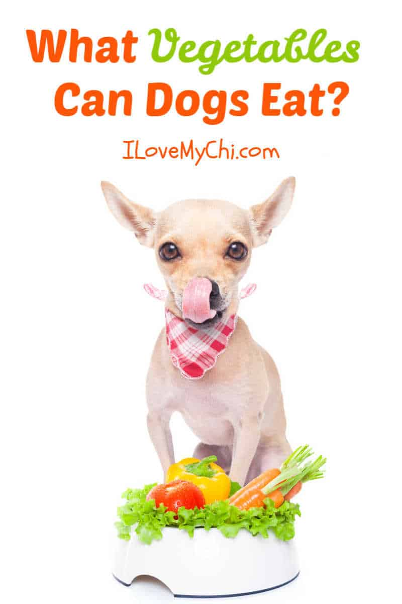 chihuahua in front of dog bowl of vegetables