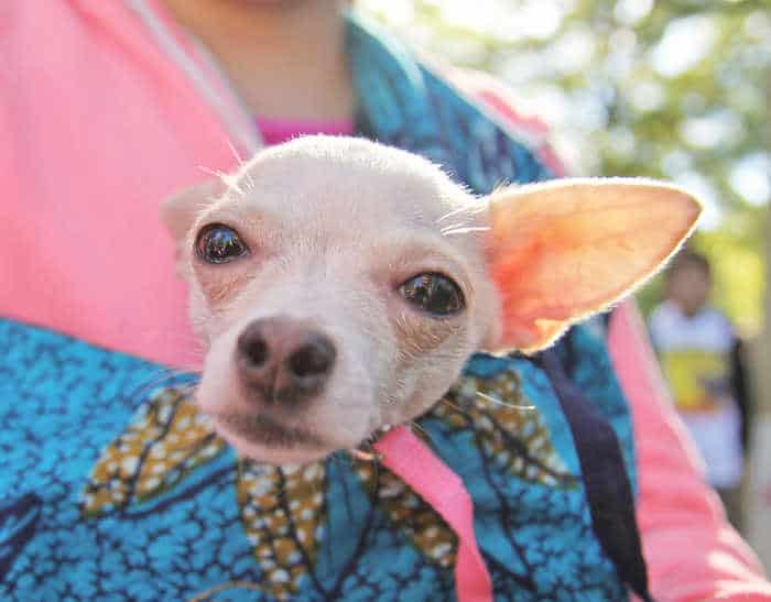 closeup of chihuahua's face being carried in woman's shirt
