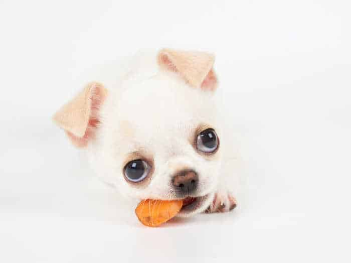 chihuahua puppy eating carrot