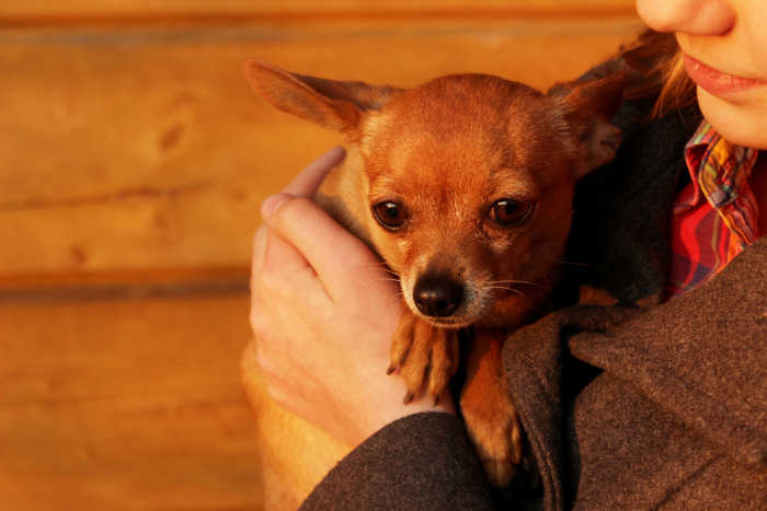 woman holding fawn chihuahua