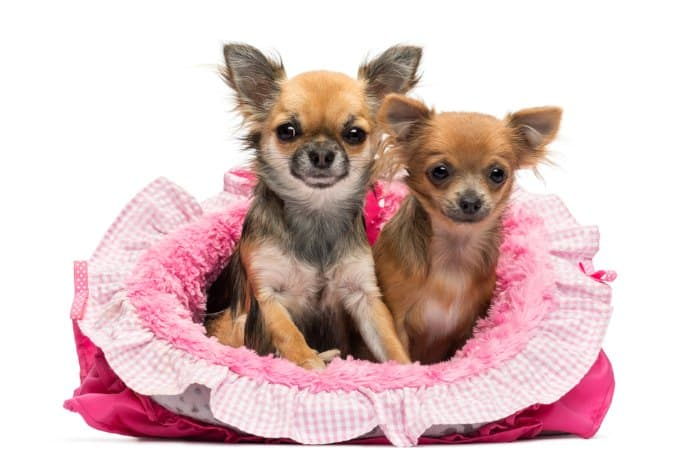 2 chihuahua dogs in pink dog bed