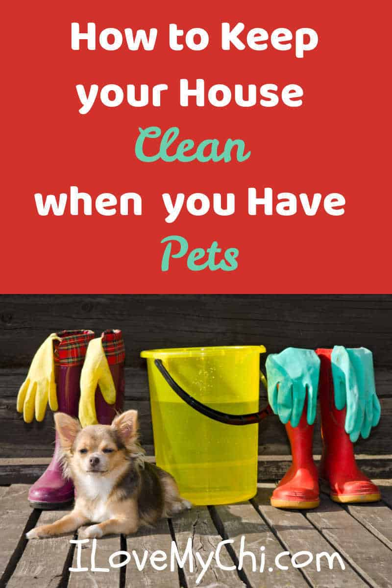 chihuahua with house cleaning supplies