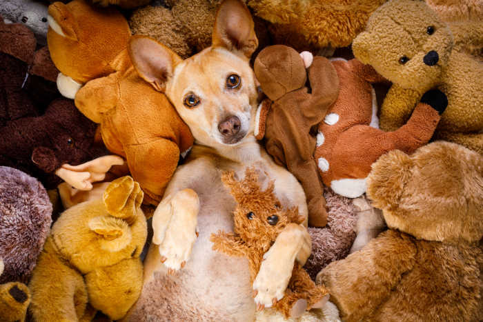 chihuahua laying in teddy bears