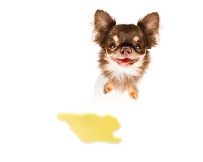 cute chihuahua dog by puddle of urine