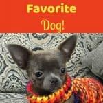 cute chihuahua wearing scarf