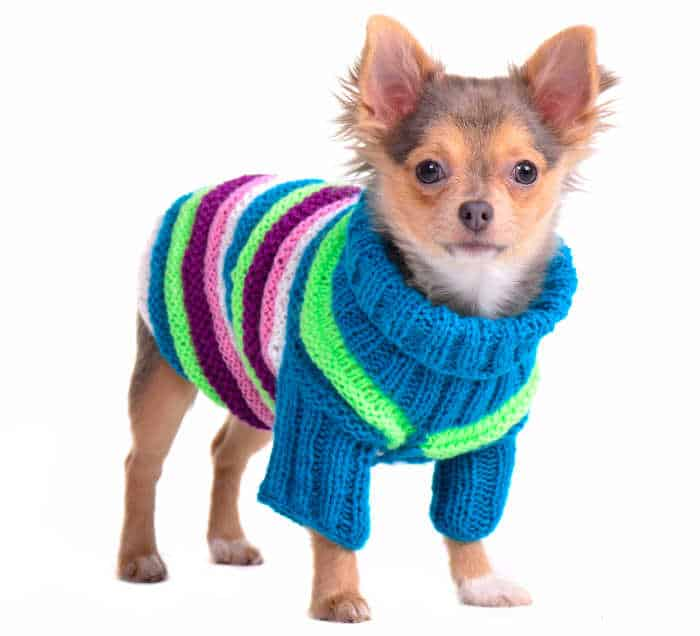 chihuahua puppy wearing striped knitted sweater