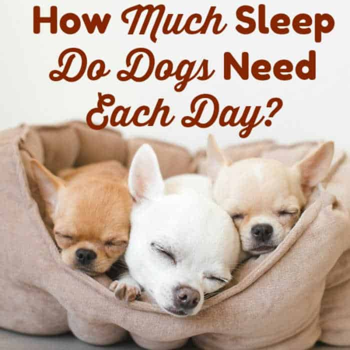 3 sleeping chihuahua puppies