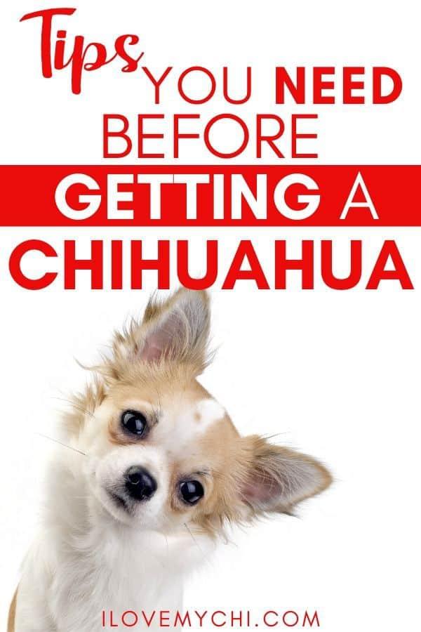 cute head tilting chihuahua