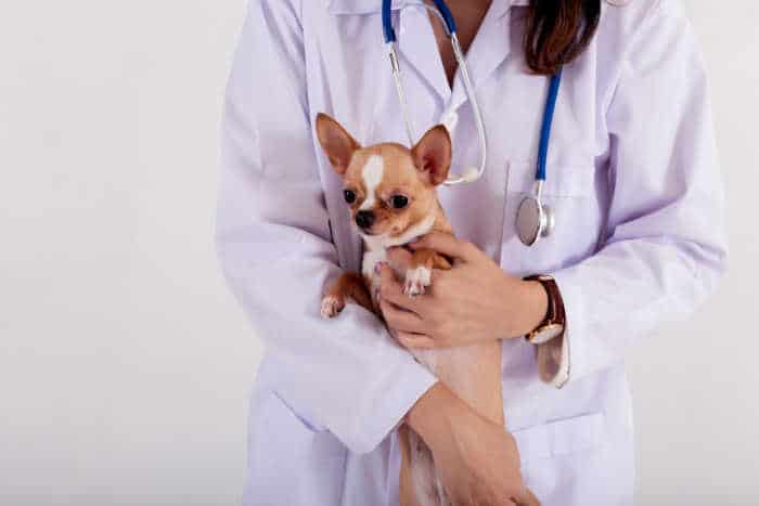 Chihuahua being held by veterinarian