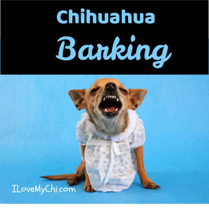 chihuahua in dress barking