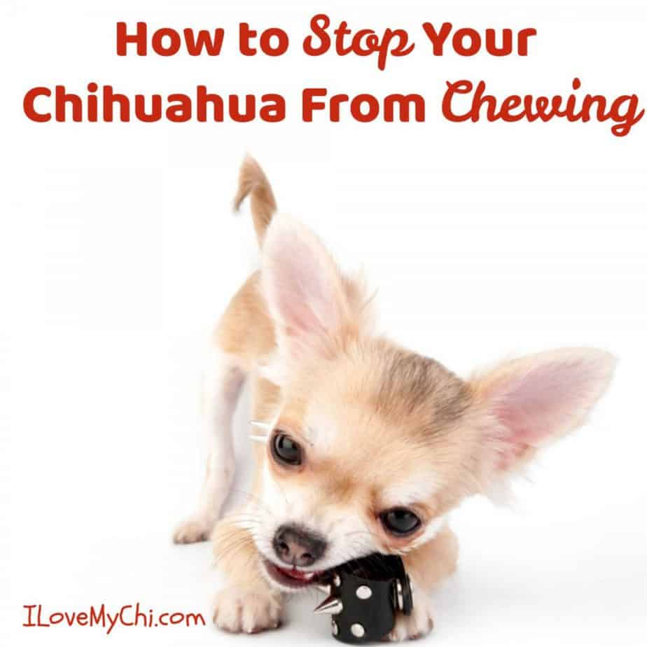 chihuahua chewing